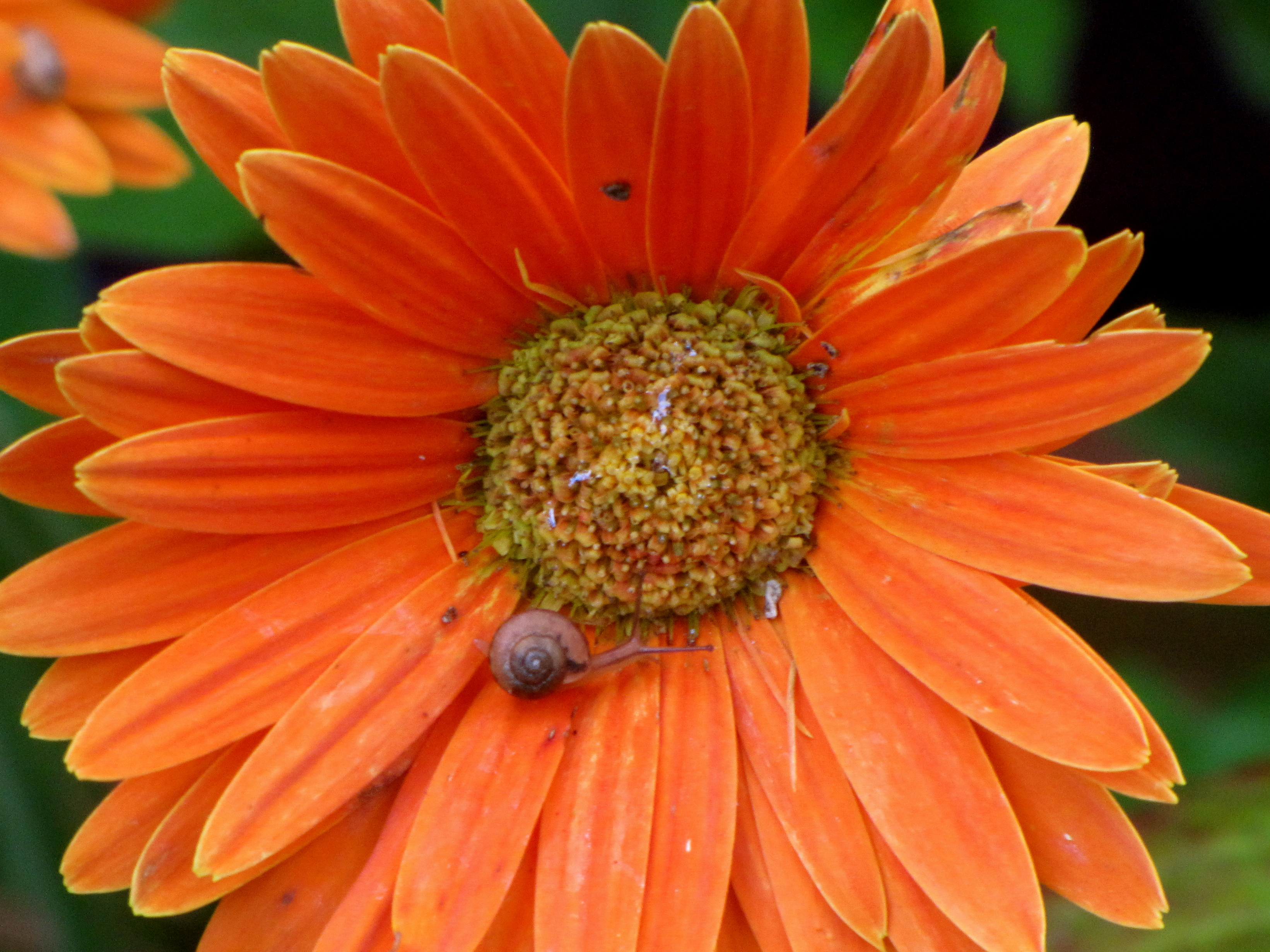 Gerbera Daisy with A Visitor!