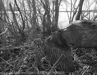 Beaver-felled tree on the Rideau