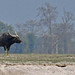 Wild Water Buffalo, Koshi extension