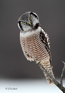 Tilted / Northern Hawk Owl