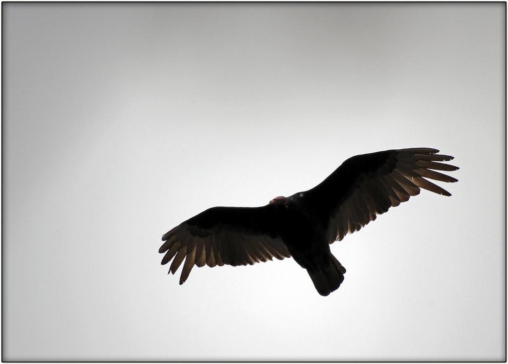 'turkey' vulture