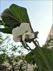 Snowpea flower