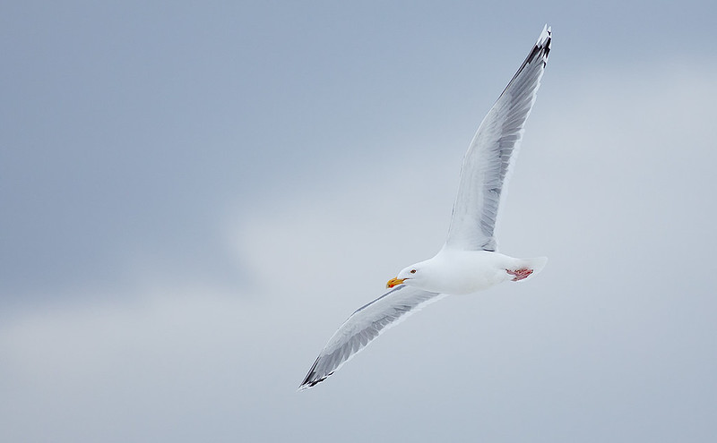 Herring Gull - the light and uplighting from the snow is amazing!