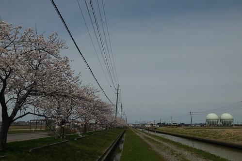 桜の花、舞い上がる道を 3