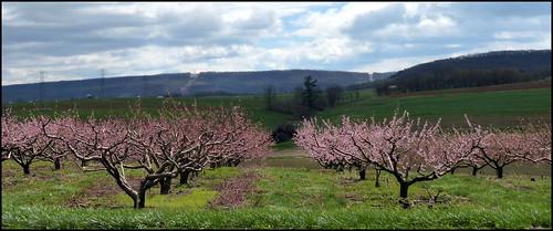 peachtree floweringtrees