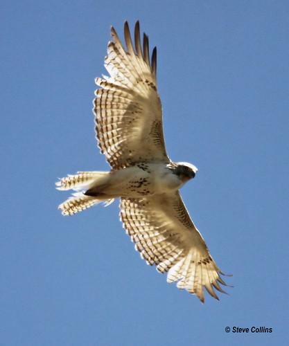 hawk tx redtailedhawk buteojamaicensis buteo lubbockcounty