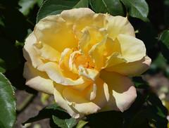 shrub(1.0), garden roses(1.0), camellia sasanqua(1.0), rosa 㗠centifolia(1.0), floribunda(1.0), flower(1.0), yellow(1.0), rosa foetida(1.0), plant(1.0), flora(1.0), rosa pimpinellifolia(1.0), petal(1.0),