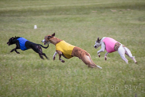 Whippet Nationals-2060