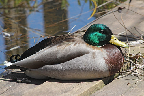 Mallard on the Bridge