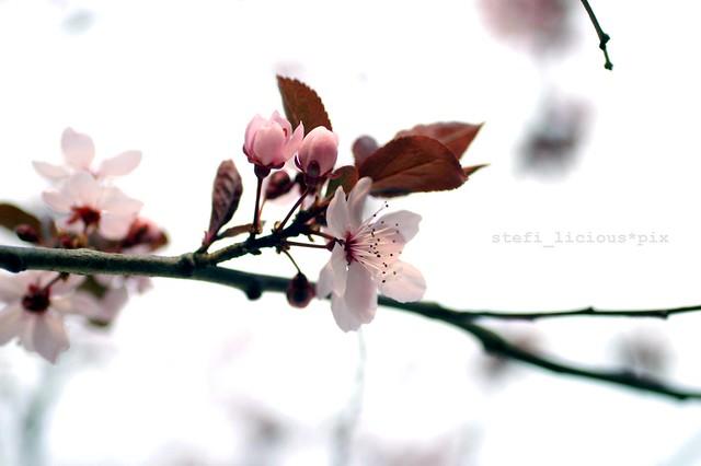 kirschblüte_3