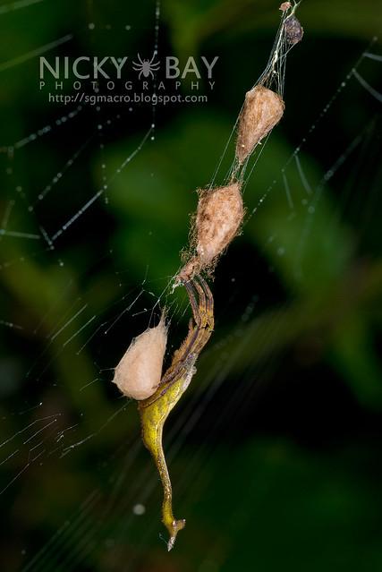 Scorpion-Tailed Spider (Arachnura sp.) - DSC_0570