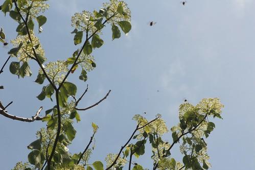 ミズキの花とハナムグリ