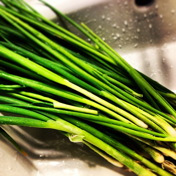 Today's harvest: 九条葱 (Kujo Scallion)