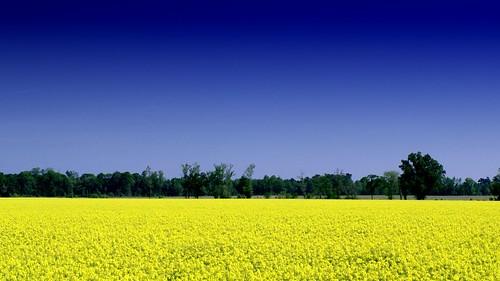 flowers yellow landscape farm fields crops canola