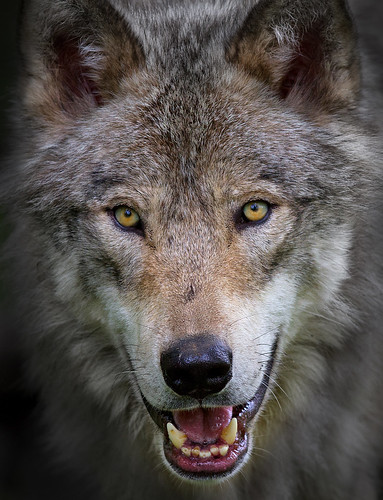 """""""All the better to eat you with my dear"""" - Timber Wolf"""