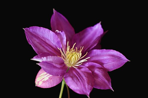 Clematis  2 by T.takako