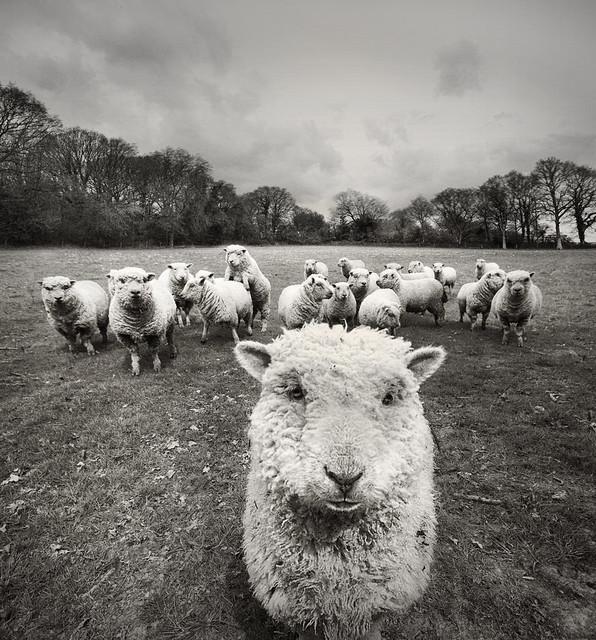 8694439041_7af9a25ba5_z 25 magnifiques photos de moutons