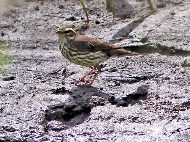 Northern Waterthrush 20130430