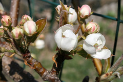 pear blossoms 109