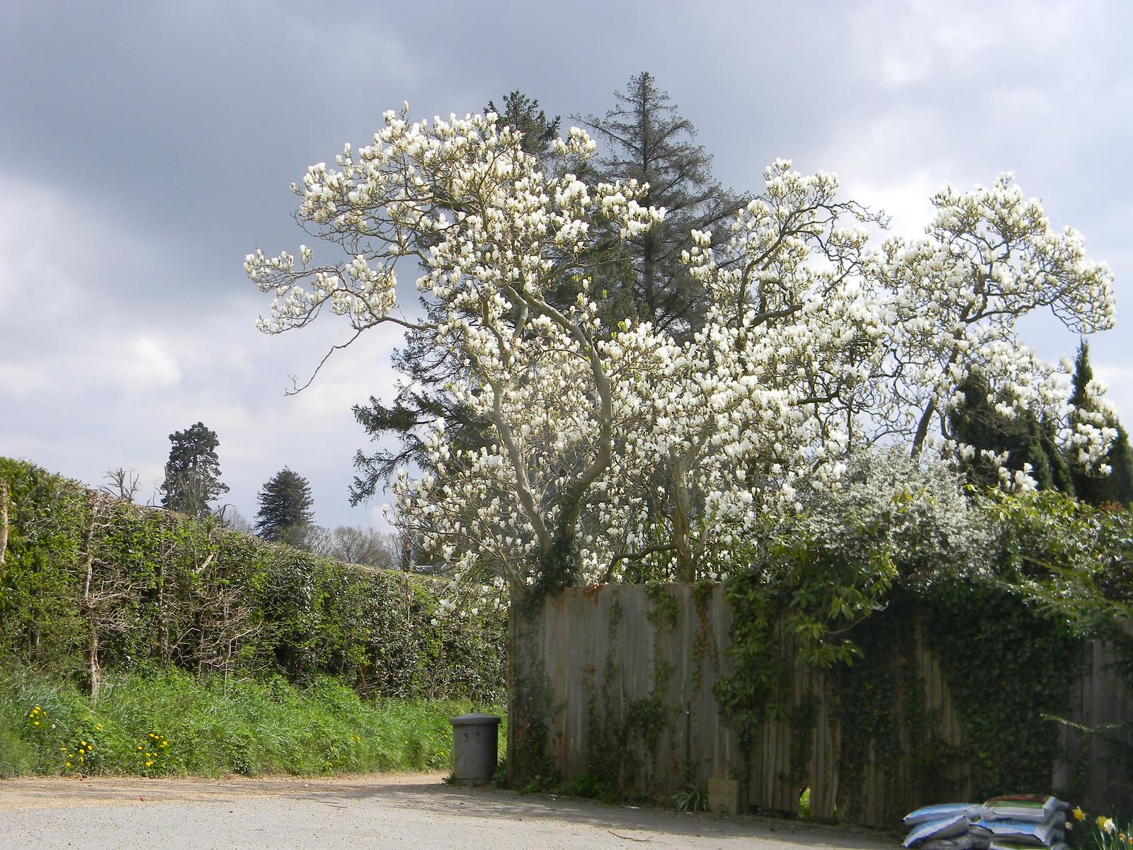 White blossom Hurst Green to Wetherham