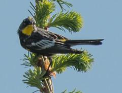 Audubon's Warbler (Dendroica coronata auduboni)