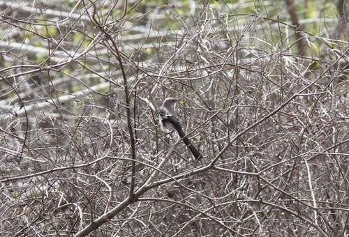 Northern Mockingbird, Fish Point SWA, 5 May 2013