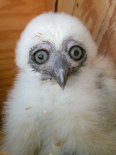 Spectacled Owl Chick2