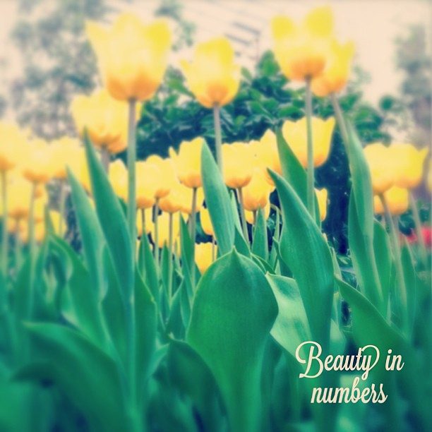 "just because.... happy weekend! ""Just because I'm not forever by your side doesn't mean that's not precisely where I want to be."" ― Stephanie Laurens, A Rogue's Proposal #tulips #tulipmania #flowers #yellow #plants #love #simplethings #b"