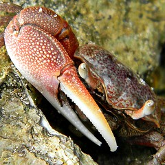 Portrait of a Crabby Crab
