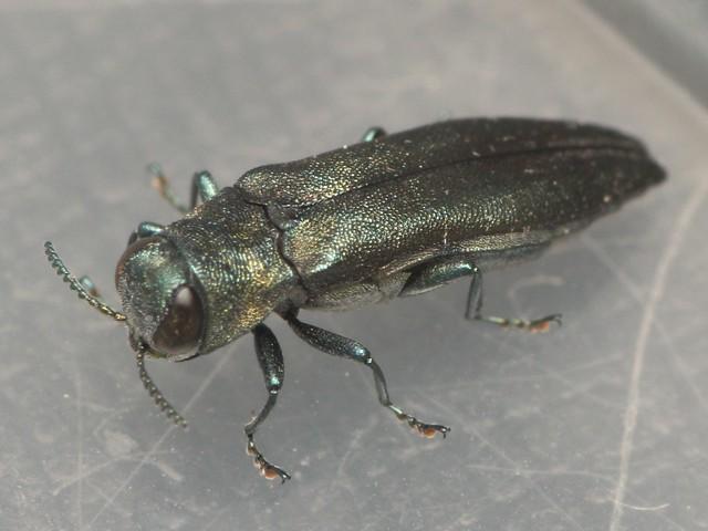 Agrilus sp