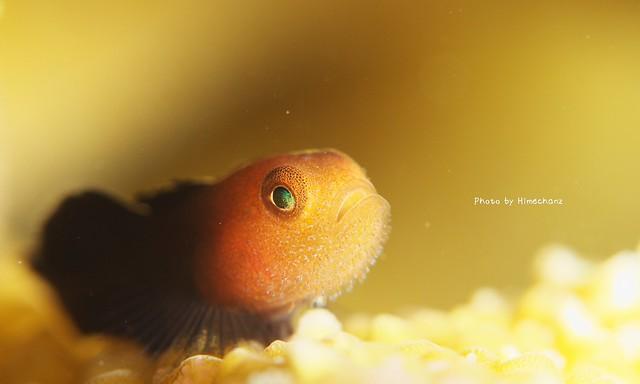 ダルマハゼ幼魚その2