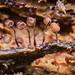 Cribraria cancellata by BiteYourBum.Com Photography