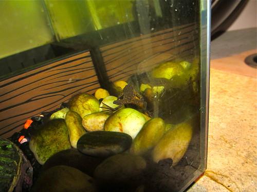 Balboa the Frog