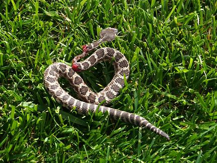 Baby Rattlesnake The Gardener Killed In Moms Backyard