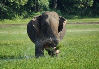 The happiest elephant in Sri Lanka