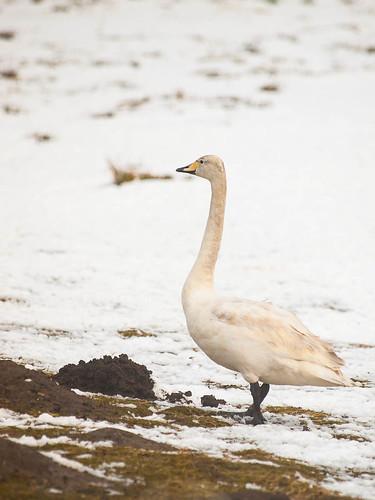 Whooper Swan - Caerlaverock