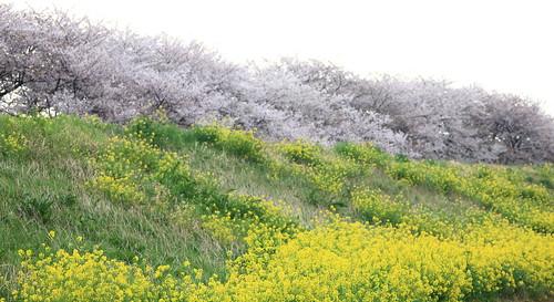 wild cherry high blossom hires 桜 resolution sakura 5d hi saitama res turnip markii 埼玉 櫻 さくら サクラ 菜の花 kumagaya 熊谷 荒川 さいたま なのはな sakuratsutsumi 高画質 高精細 あらかわ 熊谷桜堤 くまがや さくらつつみ