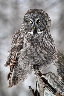 Focused / Great Grey Owl