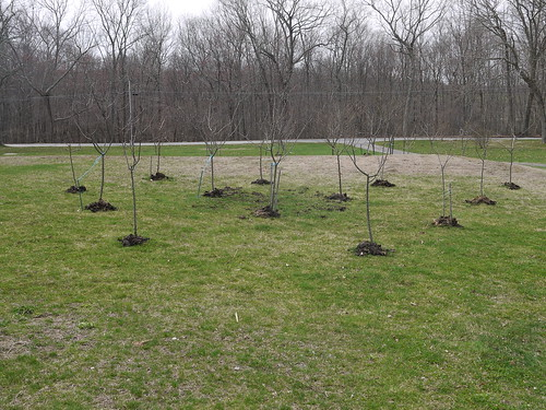 Mulched fruit trees