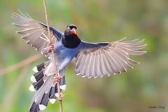 05台灣藍鵲