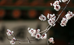 Korea_Palace_Spring_Flowers_11