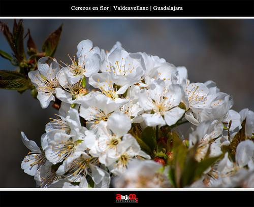 Cerezos en flor | Valdeavellano | Guadalajara by alrojo09