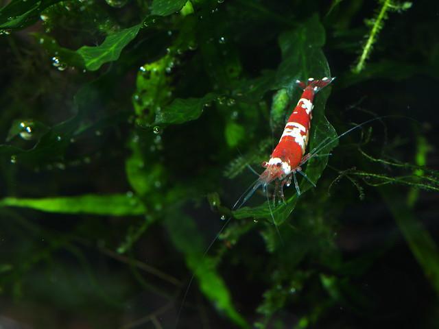 P4163187 水晶蝦