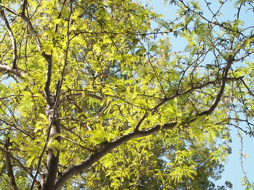 Garden Inventory: Honey Locust - 01
