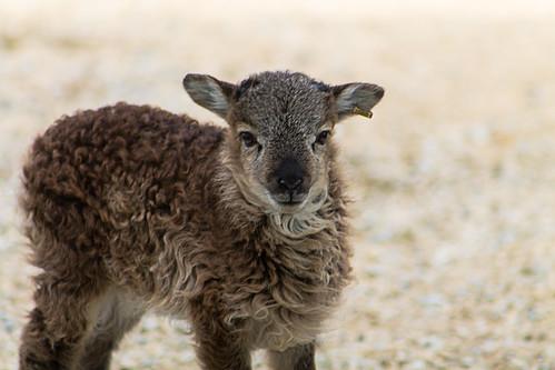 Week old British Soay Lamb