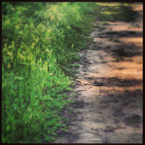 Rattlesnake!