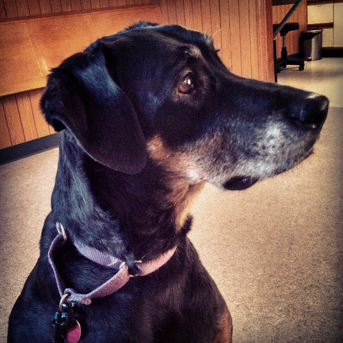 Lola watching the puppy while waiting at the vet tonight #dogstagram #dobermanmix #curious #love