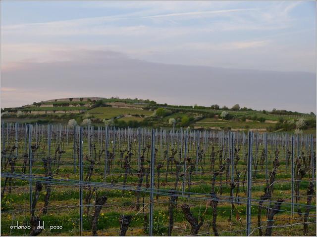evening in the wineyards - bad duerkheim, michelsberg