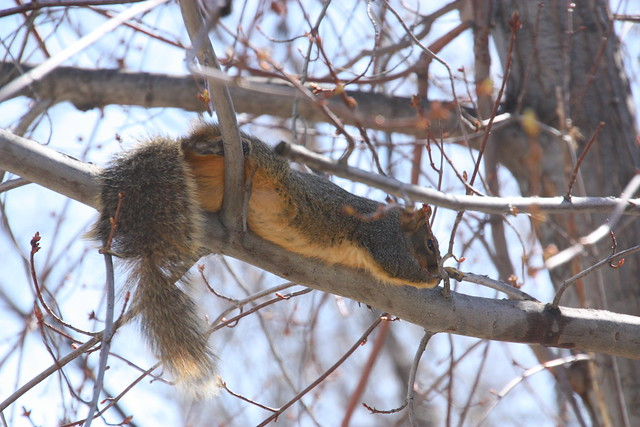 Squirrel siesta