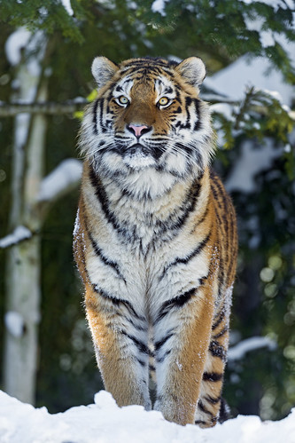 Luva proudly standing in the snow by Tambako the Jaguar